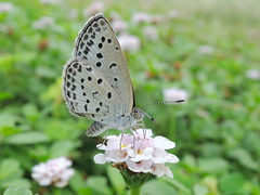 Pale Grass Blue Butterfly photo by shin5963