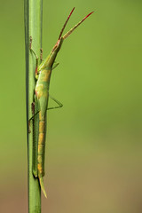 Stick grasshopper photo by andre de kesel