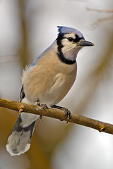Blue Jay photo by Brian E Kushner