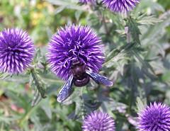 Je me régale, dit l'abeille charbonnière :) photo by anne arnould