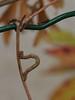 chenille arpenteuse brune sur chevrefeuille