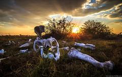 Elephant Skeleton photo by Rod Gotfried Photography
