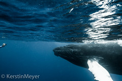 photo shooting with a baby whale ... photo by kerstin_meyer