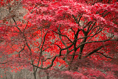 Red Leaves - Kyoto photo by Karim Iliya Photography
