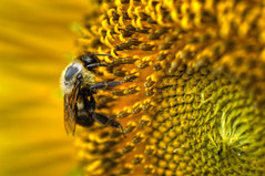 Bee on Sunflower HDR photo by Brandon Kopp