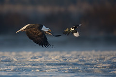 Bald Eagle and Black-billed Magpie photo by www.studebakerstudio.com
