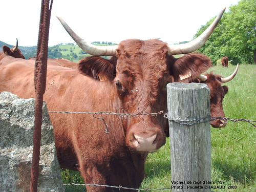 Vaches de race Salers (Cantal)