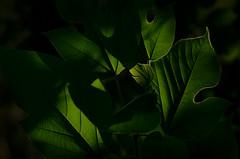 brusìo di foglie - murmuring leaves photo by sharkoman