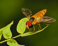 IMG_2229  hover fly photo by Troup1