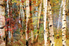 Birch Overlay photo by Brian 104
