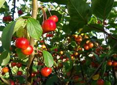 Pommes, pommes et encore pommes ...  (Explore) photo by anne arnould