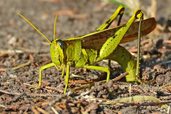 Obscure Bird Grasshopper Ovipositing photo by NaturalLight