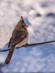 Female Northern Cardinal_DSC2654photohsop edit photo by nkatesphotography