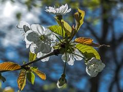 Blossom Against Blue photo by stevedewey2000