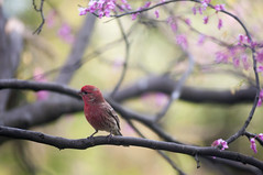 House Finch (Haemorhous mexicanus ) on a Redbud Tree photo by Bindu&Sudhir