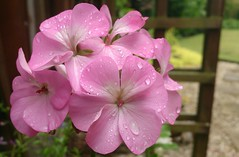 Pink Geranium on a wet Friday afternoon in June photo by jeannie debs (Thank you all for your comments/fave
