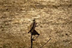 coruja buraqueira photo by Davi Leonardo