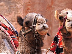 Close-up portrait of Camels in Petra - EXPLORE photo by PsJeremy - back & catching up