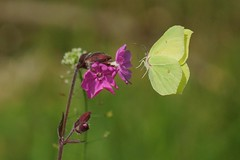 Brimstone butterfly in flight, Martin Mere WWT, Burscough, Lancashire, England, May 2014 photo by Gidzy