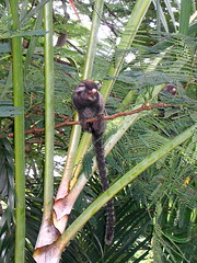 Monkeys go to Santa Teresa