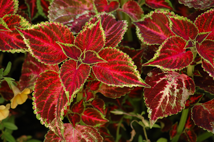 Coleus :: Click for previous photo