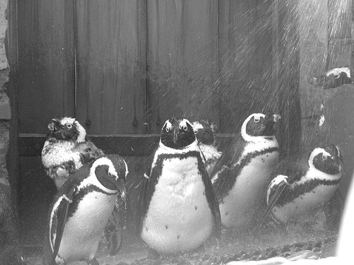 showers of the penguins