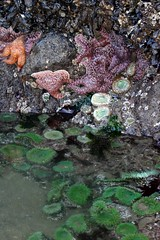 Wild Sea Stars on Haystack Rock, Cannon Beach, Oregon