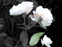 roses, 21 septembre 2005