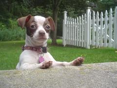 Belle: Portrait of a Dog photo by B Rosen
