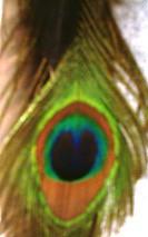 peacockFeather
