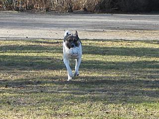 Zebu mit Ball