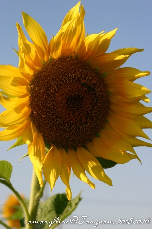 sunflower04
