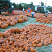 sea-of-pumpkins