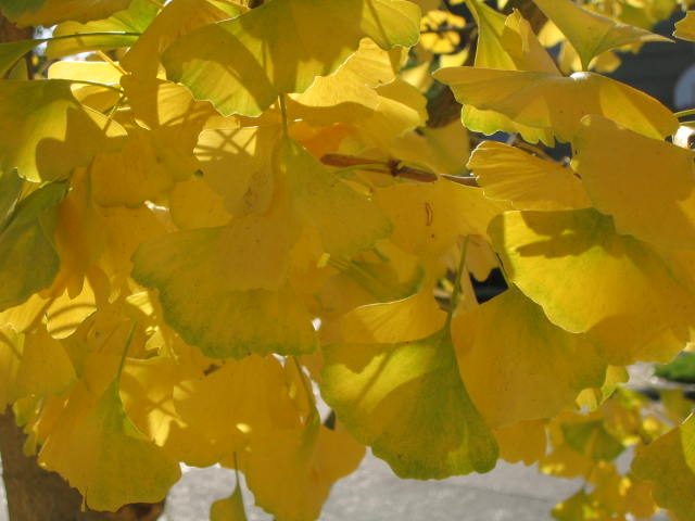 Ginkgo Leaves (Yellow)