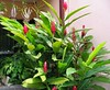 Alpinia purpurata 'Red' (Red Ginger, Jungle King, Jungle Queen)