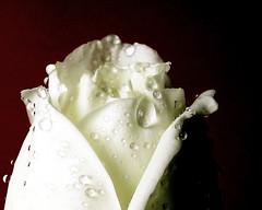 Ice white rose