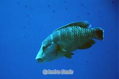 Peixe-napoleao