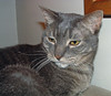 Boo: grey tabby cat