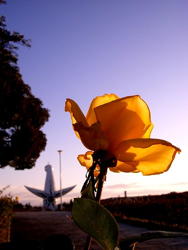Yellow rose & The Tower of the Sun 太陽の塔の後姿