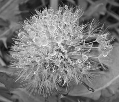 frozen dandelion black and white