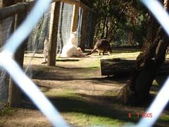 Wallabies di Ballarat Wildlife Park, Australia