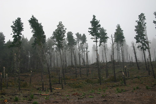 Ghost forest in the Upper Orotava valley on the way to Parque Nacional del Teide