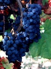 Rufete Grapes