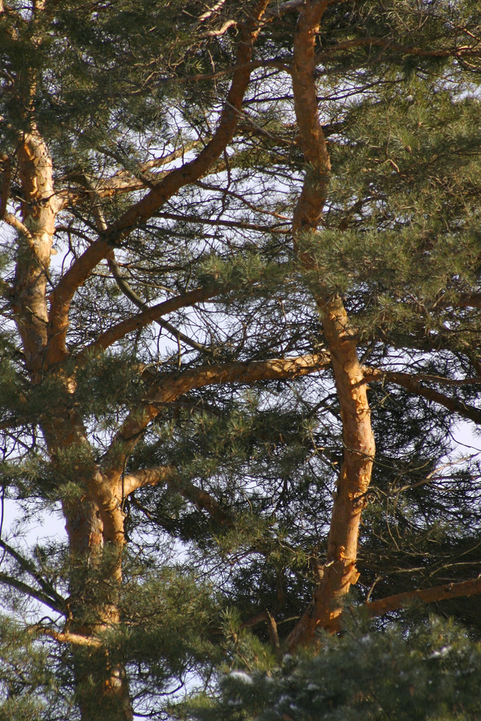 red pines in late afternoon sun