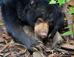 Bornean Sun Bear - now endangered due to deforestation over the past three decades. photo by One more shot Rog