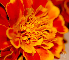 French Marigold photo by -: : [himuGraphy] : :-
