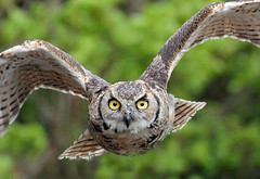 Eagle Owl photo by Buggers1962