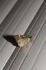 papillon Xanthorhoe fluctuata homochrome