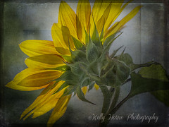 Sunflower Morning photo by kellykhorne