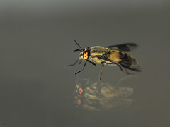 A red eyed Horse fly photo by Sandra-Photographie